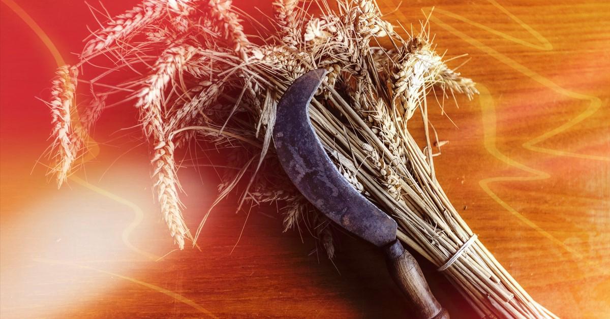 Meutre du blé, moisson