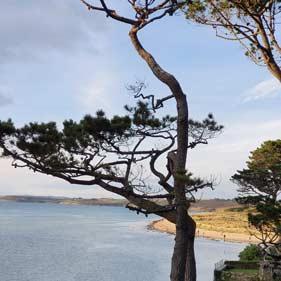 On voit un pin au premier plan et la mer en arrière plan à marée haute proches des dunes d'AelYs.
